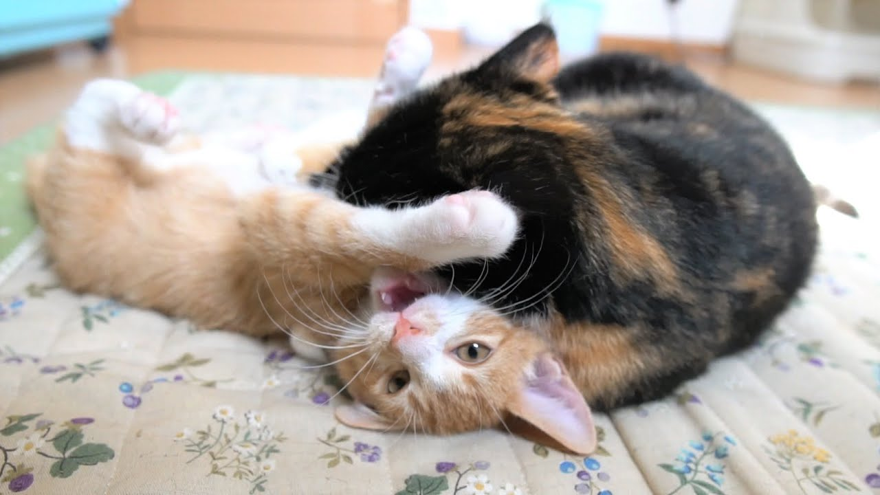 子猫に噛みついて力加減を教えてあげる母猫【生後72日】