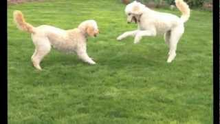 Two Goldendoodle Dogs Playing