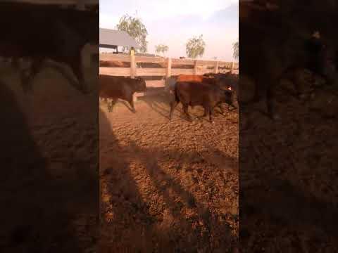 Imagen 43 Terneros en Artigas