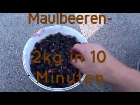 Maulbeeren- 2kg in 10 Minuten ernten, anbauen und vermehren- vegane Rohkost