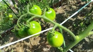 Эксперипентальные томаты в открытом грунте начали краснеть