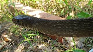 Thăm bẫy trước mùa không ngờ trúng lớn. Xém chúc là xong con rắn bự | Săn bắt SÓC TRĂNG |