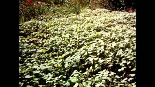 Buckwheat Cover Crop Time Lapse Sept  1st  To Nov  1st , 2015