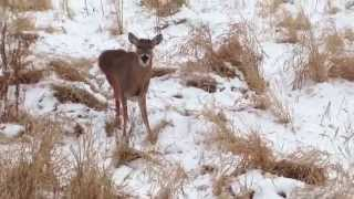 Deer Being Attacked By Coyotes Is Saved Then Thanks Human
