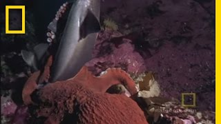 Giant Pacific Octopus - Hunting Shark