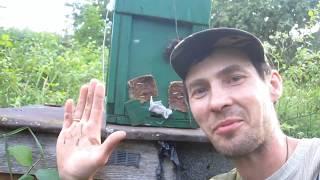 Пчеловодство. Как и когда снять ловушку, с пойманным пчелиным роем с дерева.