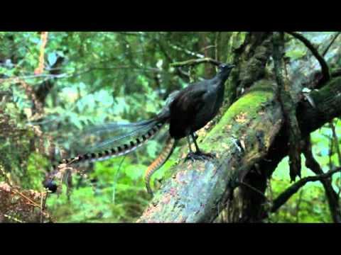 Lyrebird song - Stephen Powell Wildlife Artist