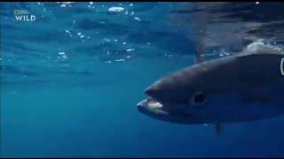 Рыбалка на тунец national geographic дикийн