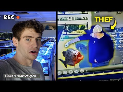 WHY YOU SHOULD NEVER STEAL FROM A FISH STORE... Piranhas in the tanks!!!