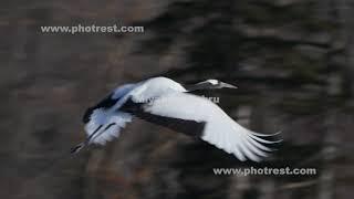 飛翔するタンチョウ