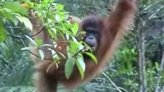 preview picture of video 'Orangutans in their treetop home at Lok Kawi Wildlife Park - Video 2'