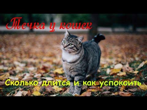 Течка у кошек  Сколько длится и как успокоить  The cat is in heat
