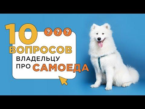 10 вопросов владельцу про самоеда. Расскажем все о собаке породы самоед.