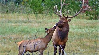 The Elk Rut Is Coming
