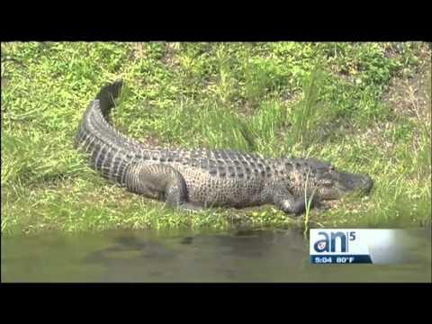 Cazadores de cocodrilos del Sur de la Florida mataron a un reptil de mas de ocho pies - América TeVé