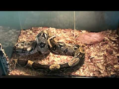 Customers Boa's Eat Rats – Amazing Pets Naples Florida