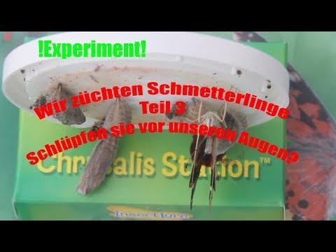 Wir züchten Schmetterlinge Teil 3#Schlüpfen sie vor unseren Augen?/Fütterung (Deutsch/German)