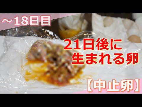 , title : '【21日後に生まれる🐣】ニワトリの卵を孵化させる⑦【中止卵】