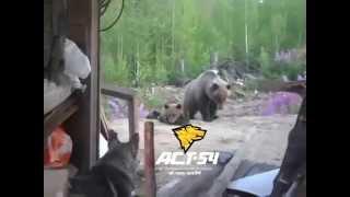 Смотреть онлайн Нападение медведя на людей