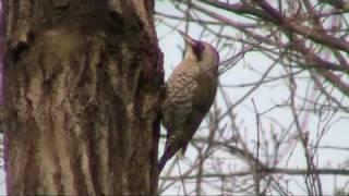 Japanese Woodpecker - Picus Awokera