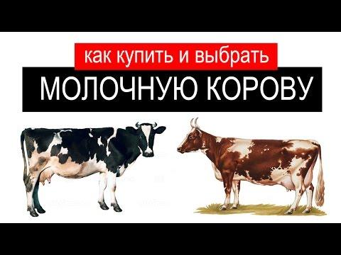 , title : 'Как купить корову? Как правильно выбрать корову?