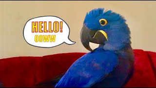 Baby hyacinth macaw trying to talk his first words