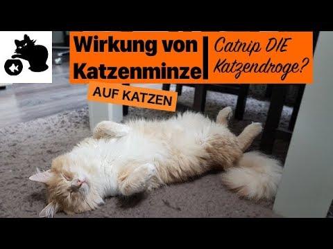 🔥Wirkung von Katzenminze auf Katzen - Catnip DIE Katzendroge?