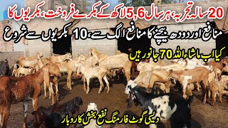 How to Earn 6 Lac From Goat Farming   Desi Goat Farming   Goat Milk Business