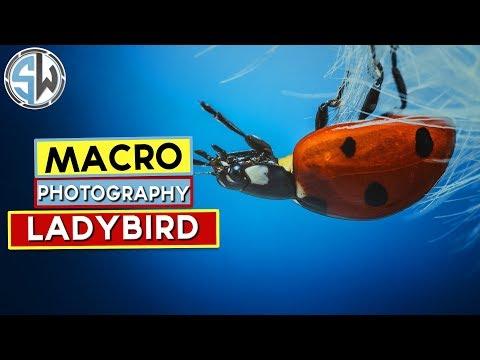macro photography lady bird on a dandelion seed