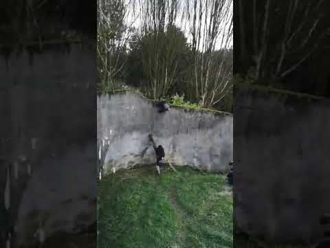 Chimpanzees caught on film escaping from zoo enclosure in Belfast