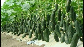 WOW! Amazing Agriculture Technology Cucumbers  2017