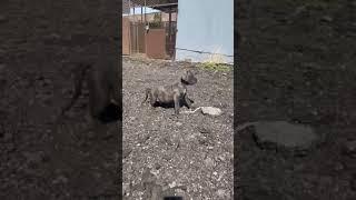 Neapolitan Mastiff Puppies Videos