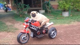 Funniest and Cutest Pug Dog Video Compilation #6