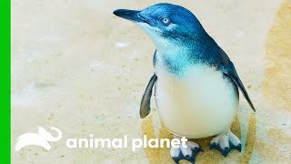 The Penguins From The Bronx Zoo Are Just Too Cute! | The Zoo by Animal Planet