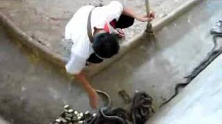 Homem limpa jaula de cobras e nem se importa com elas!!