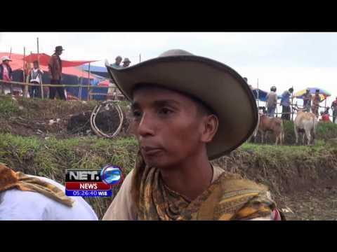 Kemeriahan Tradisi Pacu Jawi di Kabupaten Tanah Datar, Sumbar - NET5
