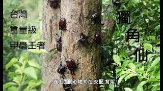 昆蟲擾西上課了!台灣重量級甲蟲王者 獨角仙