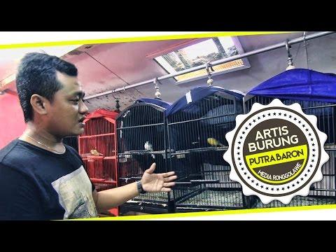 Video DUNIA HOBI : Nah Ini Dia ! Perawatan Kenari Mabung Rontok Bulu Putra Baron Canary