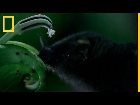 La Misteriosa FLOR y el INCREÍBLE Murciélago. Inédito animal | National Geographic en Español