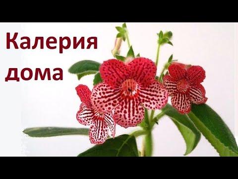 Калерия цветок: уход в домашних условиях | Колерия размножение