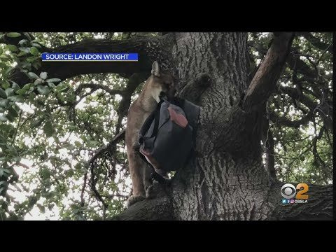 3-Year-Old Boy Attacked By Mountain Lion In Lake Forest, Animal Put Down