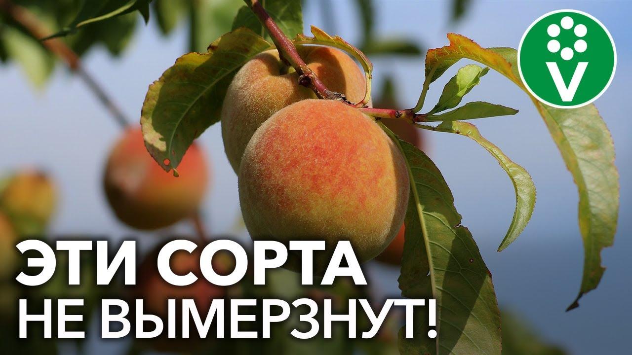 Лучшие зимостойкие сорта персика для Средней полосы