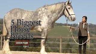 5 Biggest Horse Breeds | Worlds Biggest Horse | Biggest Horse In The World