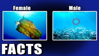 Female Blanket Octopus 40,000 Times Bigger Than Male    ARF 21