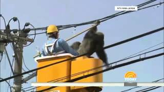 Chacha the chimp's intense escape attempt and capture transfixes Japan