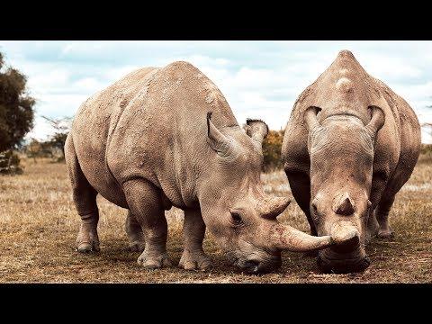 Naděje na záchranu nosorožců tuponosých severních - BBC Earth