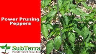 How to Prune Your Pepper Plant for Increased Production