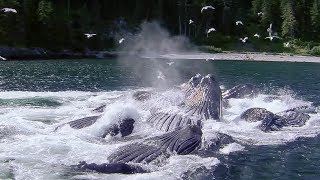 Whales Bubble Net Fishing | Natures Great Events | BBC Earth