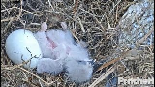 SWFL Eagles ~ E14 Takes a TUMBLE & Falls Over!! SLOMO! ~ Harriet Offers FIRST Bite! 12.19.19