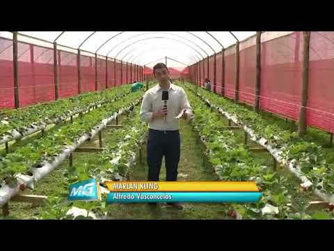 Produtores de morango de Alfredo Vasconcelos apostam em boas vendas